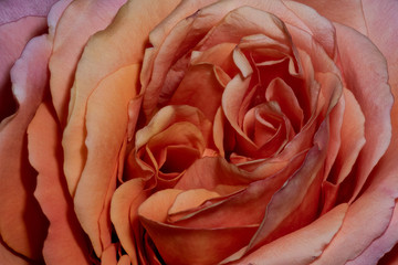 Fine art still life color macro flower photography of the inner of an orange pink rose with detailed  petal texture