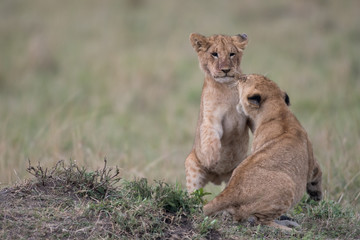 Two lion cubs playing Wall mural