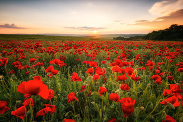 Wall Mural - Poppy field at sunset / Amazing view with a spring field and lots of poppies at sunset