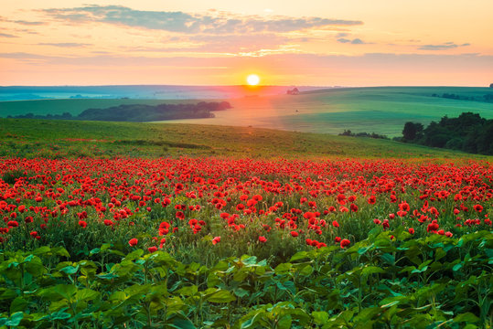 Poppy field at sunset / Amazing view with a spring field and lots of poppies at sunset