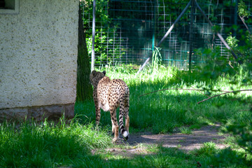 Leopard Zoo Dresden Leopard Bilder Tier Photos