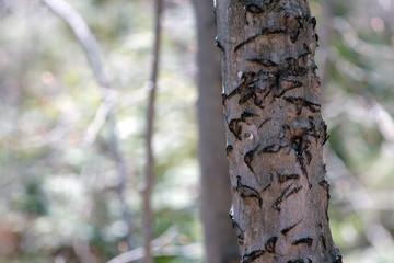 arbre balafré