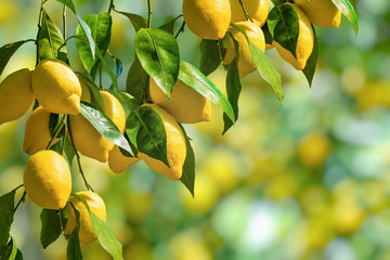 Bunches of fresh yellow ripe lemons with green leaves. Wall mural