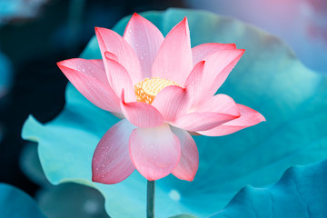 Garden Poster Lotus flower blooming lotus flower in garden pond