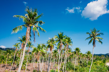A forest of palm trees on a sunny day