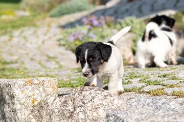 Small charming Jack Russell 7,5 weeks old old. dog puppy standing outdoor in the garden in summer.