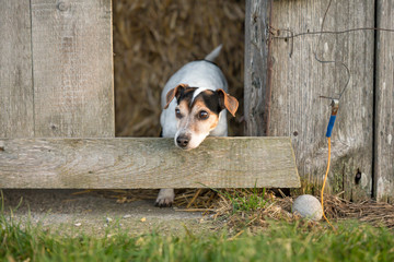Dog is looking out of a barn. Jack Russell Terrie 12 years old
