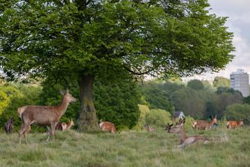 Balade à Richmond Park - Londres HD Photos