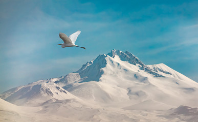 Stork flying over a snowy mountain