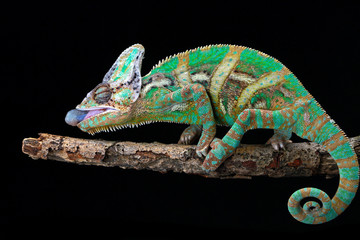 Portrait of a veiled chameleon ready to catch prey, Indonesia
