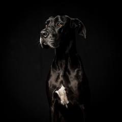 Obraz Black great dane in black background  - fototapety do salonu