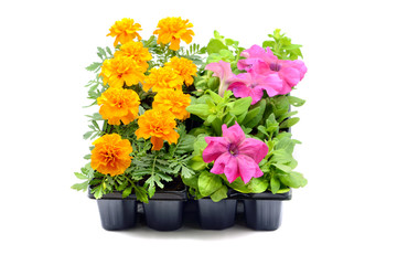 Tagetes and petunia flower tray box on white isolated background