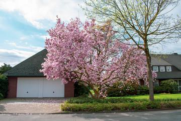 Kirschblüten Baum im Garten bei Sonnenschein. Standort: Deutschland, Nordrhein - Westfalen, Borken