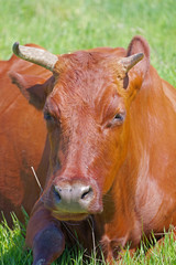 cow on a green meadow