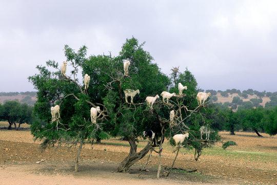 Morocco, Sidi Kaouki, goats climbing on argan tree