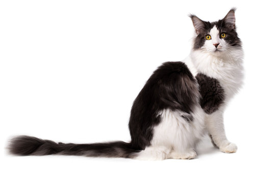 Main Coon cat on white background