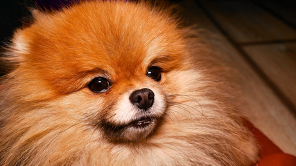 Pomeranian dog. Fluffy spitz puppy looking into the corner of the frame. Portrait of a fluffy dog in the home.