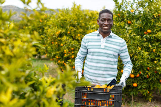 African-American farmer with box of mandarins
