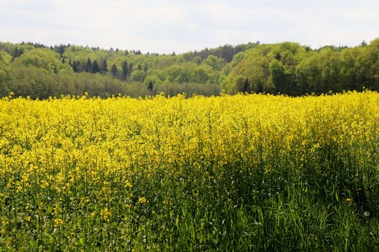 Yellow flowers growing in a field near the Palatinate Forest in Germany