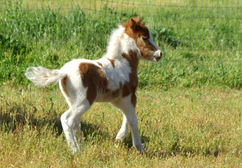 Mini Horse Colt Running in Pasture