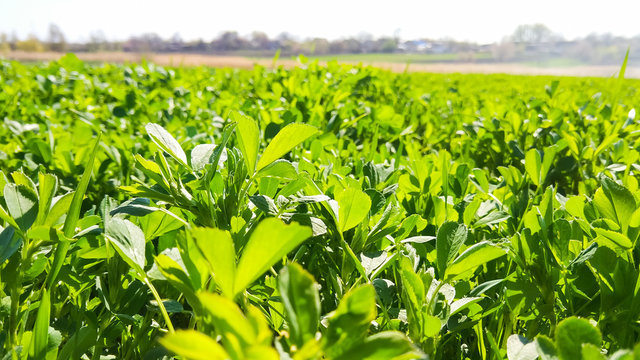 Field of alfalfa in the spring. Young alfalfa in the sun. Feed grass for farm