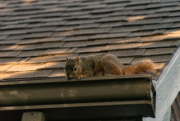 Foto op Aluminium Eekhoorn squirrel on roof
