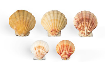 Set of Scallop shells isolated on white background