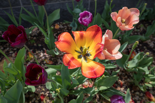 Colorful blooming tulips in DC on Spring