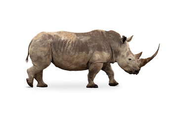 Poster de jardin Rhino Large White Rhino Profile Big Horn Extracted