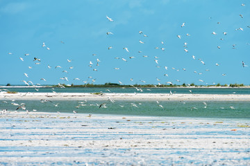 Royal tern colony was flushed