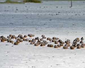 Endangered red knots sleeping on the sand