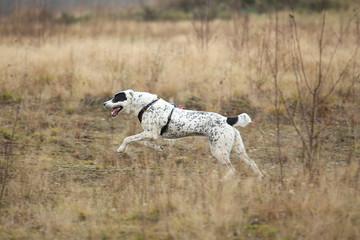 Papiers peints Chasse Portrait of Central Asian Shepherd Dog outdoor