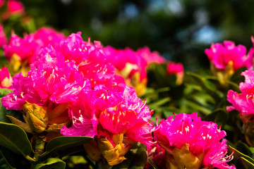 Spoed Foto op Canvas Roze Rhododendron and azalea in the garden. Close up and soft focus