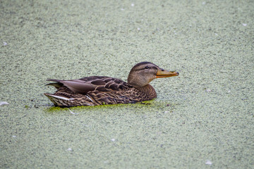 Mallard duck - close-up of a mallard duck on the water swimming in a pond. Portrait of a charming Mallard duck  with water droplets on his head.