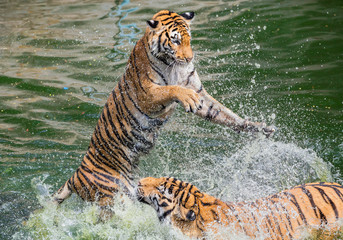 Asian tiger playing water to relieve heat.