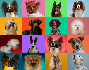 Papiers peints Chien Little dogs are posing and looking in the camera. Cute doggies or pets are happy. The different purebred puppies. Creative collage isolated on multicolored studio background. Front view.