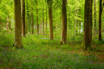 Woodland in Spring in Wiltshire, Uk