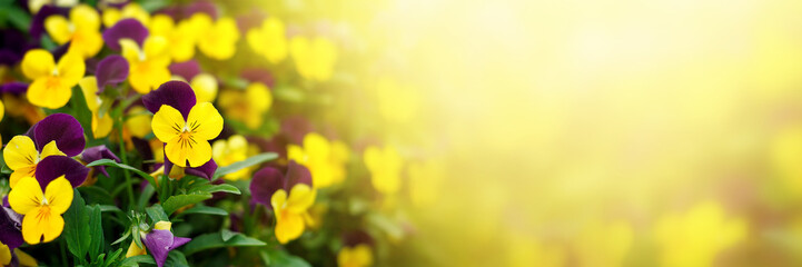 Flowering purple pansies in the garden in sunny day. Natural summer background with soft blurred focus.