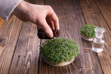Watering microgreens on rustic wooden background. Microgreens in round container and glass vials on wooden table. Science, biology, microgreens concept.