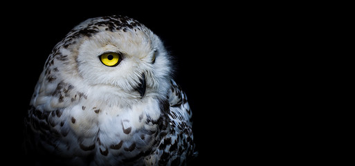 Poster de jardin Chouette Snowy Owl in Black Background