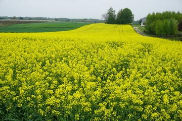 Fototapeta Pas żółtego kwitnącego rzepaku obraz