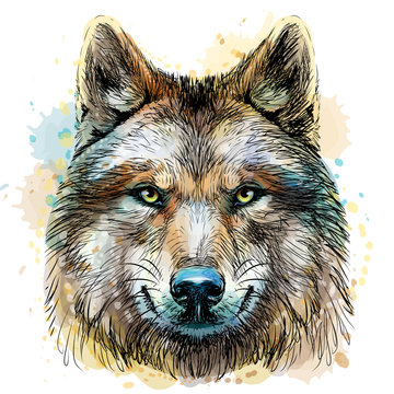 Sketchy, graphical, color portrait of a wolf head on a white background with splashes of watercolor.