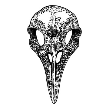 Crow skull. Hand drawn bird skull, line art sketch of raven animal head. Drawing by hand Boho style. Witchcraft, voodoo magic attribute for Halloween. Vector.