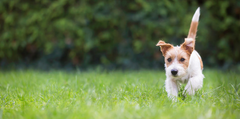 Web banner of a playful happy jack russell pet dog puppy as walking in the grass Wall mural