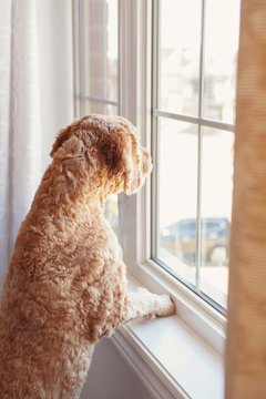 Cute adorable red-haired pet dog looking into window. Domestic animal poodle goldenhoodle terrier waiting expecting owner friend human. Loneliness solitude friendship concept