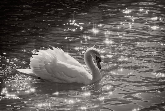 Mute swan on the lake in black and white with sun sparks