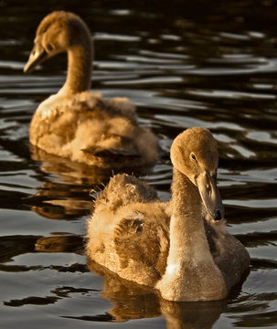 Two mute swan signets in mirrired position