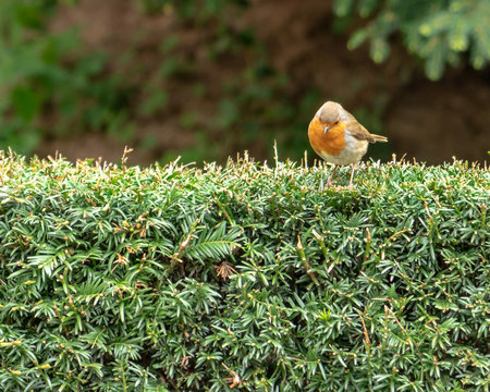 An European Robin, Erithacus rubecula, looking down from the top of a green hedge. Robin redbreast is a cute insectivorous passerine bird