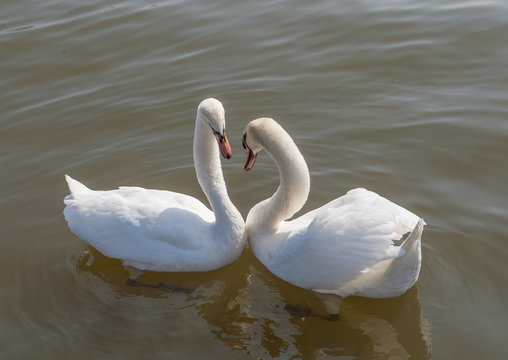 Two mute swans swimming together, forming heart shape.