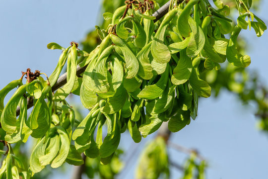 Branch of maple Acer saccharinum with lot of reen seeds against blue sky. Young seeds on maple Acer saccharinum begin to ripen before its leaves bloom. Sunny spring day